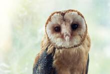 Common Barn Owl. Tyto Alba, Po...