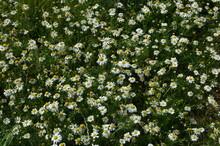 Oxeye Daisies, Leucanthemum Vu...