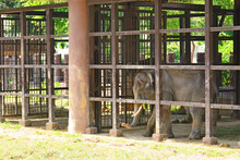 Caged Elephant At Dusit Zoo In...