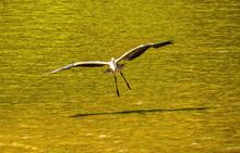 Great Blue Heron Flying Toward The Photographer.