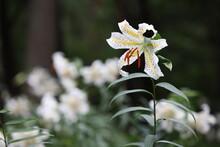 白い花のヤマユリ