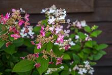 A Beautiful Santan Flower In B...
