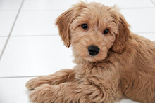 Multigen Goldendoodle