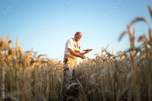Obraz Portrait of senior farmer agronomist in wheat field checking crops before harvest and holding tablet computer. Successful organic food production and cultivation. - fototapety do salonu