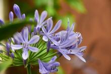 Blue Flower Agaphantus Africanos