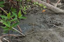 A Mudskipper Fish In The Mud
