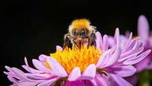Spring Summer Autumn Has A Large Variety Of Bee And Pollinator Species, Flying From Flower To Plant Eating Nectar, Gathering Pollen, Cross Pollinating Ensuring Plants Ecosystem Continues Annual Cycle