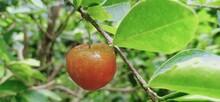 Barbados Cherry, Malpighia Glabra Linn Fruit In Nature Garden