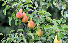 Pears Ripening On The Tree