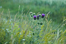 Natural Thorns, Purple Flowering