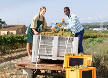 Young Cheerful Smiling African-American Man And Caucasian Female Working With Harvest In Vineyard, Picking Ripe Bunches Of Grapes In Truck