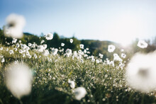 Cotton Grass In The Norwegian ...