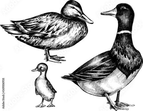 Vector monochrome  hand drawn set of wild duck. Poster Mural XXL