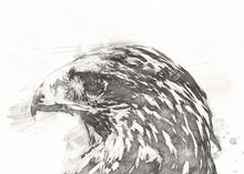 Falcon Landing Swoop Hand Draw...
