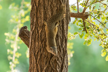 A African Tree Squirrel Hangin...