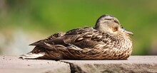 Female Mallard Duck Resting An...
