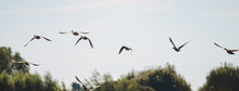 Multiple Greylag Goose Flying...