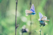 Gossamer-winged Butterflies Sits On A Flower, He Is Attacked By An Other Gossamer-winged Butterfly, Beautiful Little Blue Butterfly, Lycaenidae, Protected Nature Area, Travel Location, Dutch Wildlife,