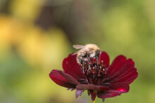A Bee Shot Close Up On A Red Flower