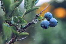 Wild Lowbush Blueberries In Va...