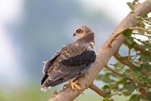Black Shouldered Kite , Bird O...