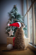 The Meerkat Or Suricate Cub In Decorated Room With Christmass Tree.