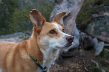 Australian Cattle Dog (red Heeler Mixed With Miniature Australian Shepherd) Outside Camping In Central Idaho