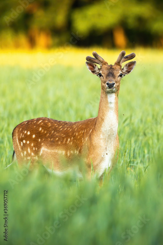 Attentive fallow deer, dama dama, looking to the camera on field in vertical composition. Majestic stag standing in grain in summer nature. Wild mammal grazing in grass at sunset.