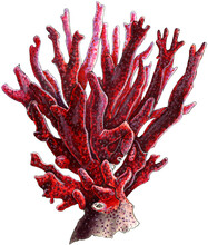 Red Coral. Illustration Hand Drawn By Markers And Ink. With Clipping Path
