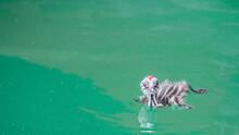 Baby Great Crested Grebe (Podi...