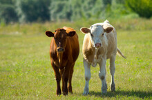 Two Young Calves Are Grazing I...
