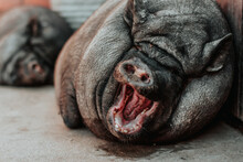 A Purebred Black Pig Lies And Yawns. The Happy Pig Opened Its Mouth.