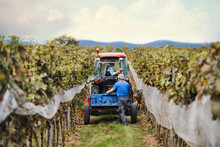 Rear View Of Tractor With Farmers In Vineyard, Grape Harvest Concept.