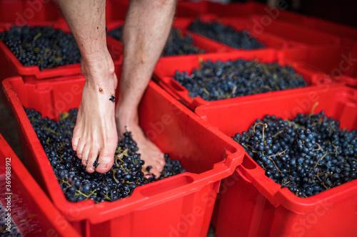 Fototapeta Barefoot man walking on grapes in box, traditional grape treading concept