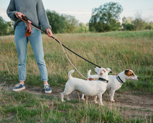 Cute Dogs On Lead On Walk With His Owner