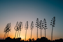 Silhouettes Of Century Plants At Sunset
