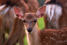 Closeup Of A Sika Deer On A Meadow In The Wild, Nara, Japan