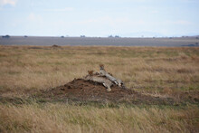 Pair Of Cheetahs Resting On A Small Hill In The Middle Of The Plain