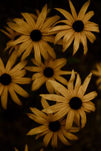 Close Up Of Yellow Daisies