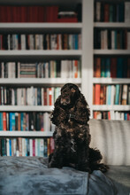 Cocker Spaniel Dog Sitting On A Couch In Front Of Bookshelves