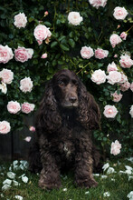 Portrait Of An English Cocker Spaniel Dog Sitting In Front Of A Pink Rose Shrub In The Garden