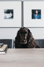 Brown Cocker Spaniel Dog Sitting Behind A Wooden Table