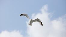Seagull In Flight, Looking At The Viewer