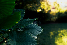 Large, Glossy Green Leaves Of An Elephant Ear Plant In Evening Light