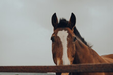 Chestnut Horse Looking At The ...