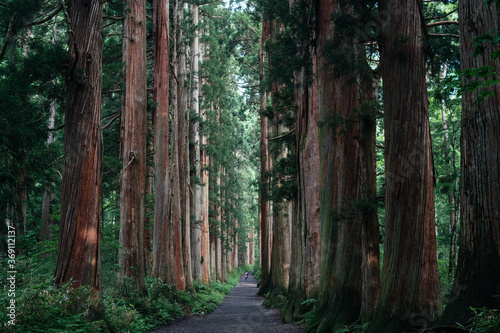 Straight Way Lined with Huge Sequoia Trees at Japanese Shrine - 369112137