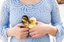 Two Baby Ducklings