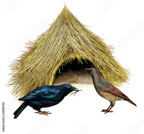 Canvas Bowerbirds ( Ptilonorhynchidae)
