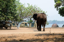 A Lone Elephant Bull Making For Some Dome Tents At Mana Pools In Zimbabwe. But It Is Only A Mock Charge.