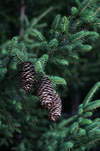 Pinecone On A Pine Tree